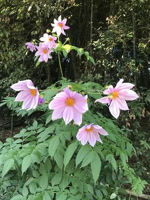 11月ピンクの花
