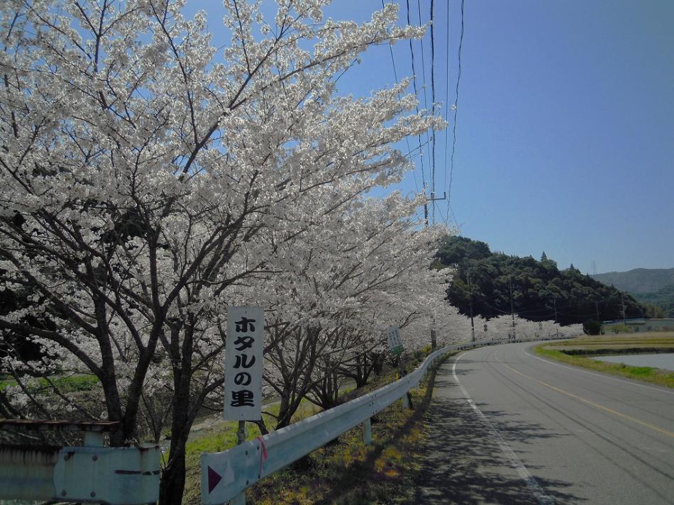 教良木の桜