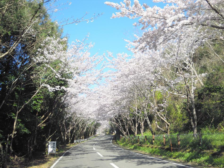 本町澤治桜