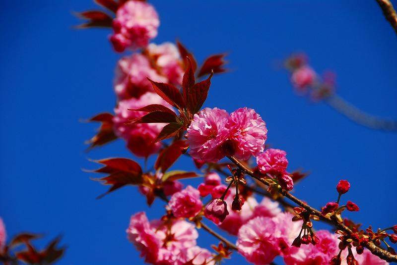 西の久保桜