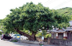アコウの木の写真