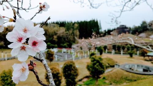 R3.3.19桜1