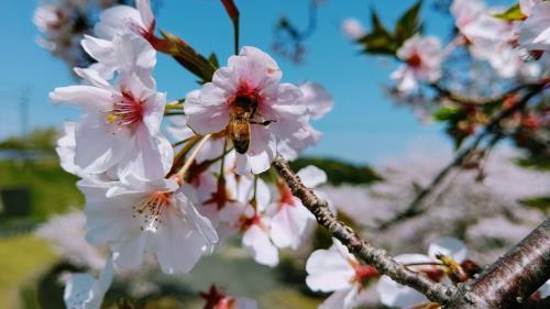 R2.4桜8