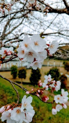 R3.3.19桜3