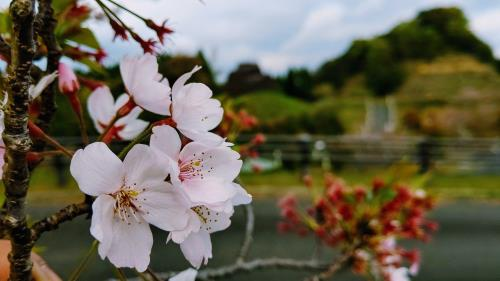 R2.4.13桜2