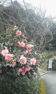 山茶花1.24