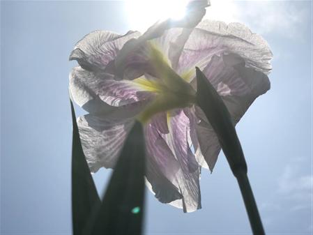 6月1日菖蒲園3(縮小450×337)