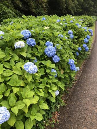 6月2日花菖蒲園3(回転90)