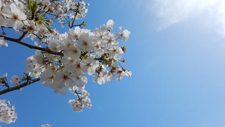 コミセングラウンドの桜④