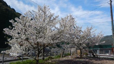コミセングラウンドの桜①