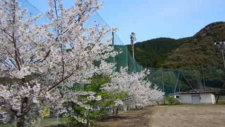 コミセングラウンドの桜③