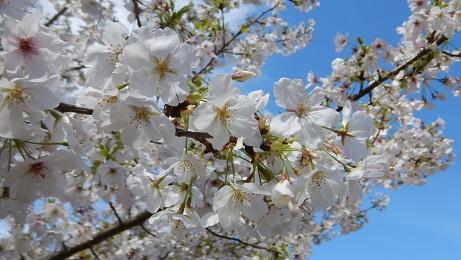 コミセングラウンドの桜②
