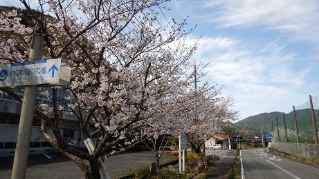 旧河内小体育館前の桜