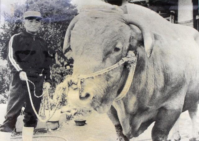 伝説の労役牛「百太号」