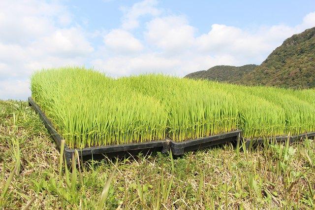 新和町でも田植えが始まりました!