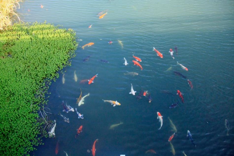 一町田にたくさんの鯉きれいでした!