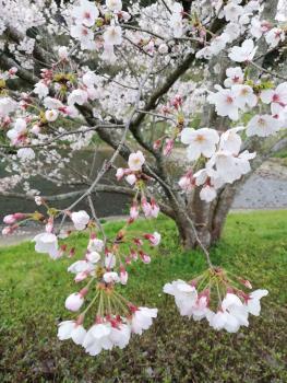 支所周辺と板野河内の桜です