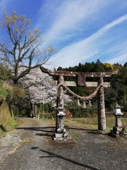 古江の桜、満開です