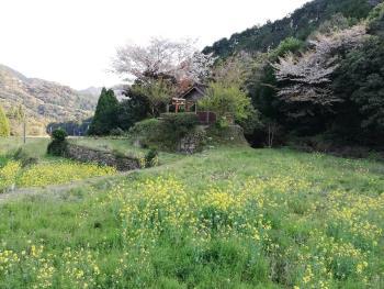 「根引きの小部屋」と「大山大神宮」の桜です