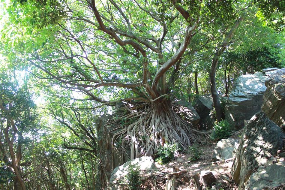 03 椿公園あこうの木