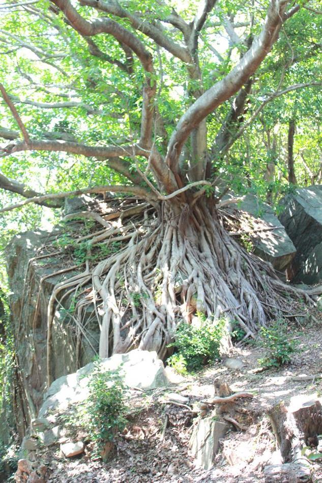 04 椿公園あこうの木