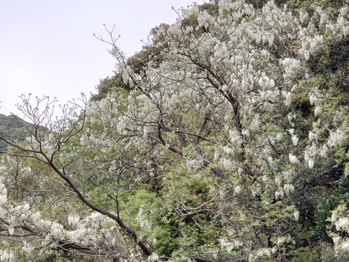 藤の花が開花