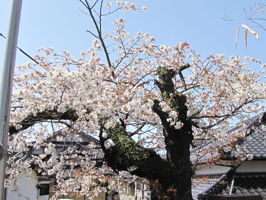 桜(h24-2)