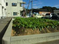 成長した野菜