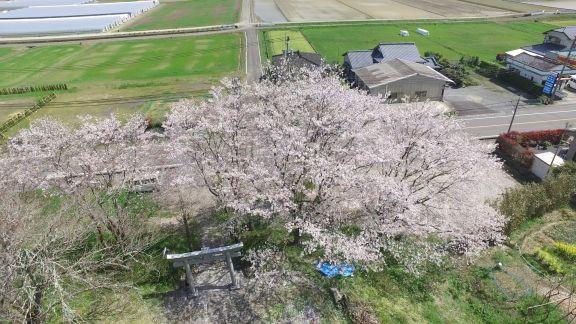 柱崎十五社宮の桜