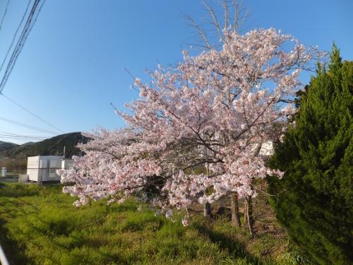 202004小学校-桜