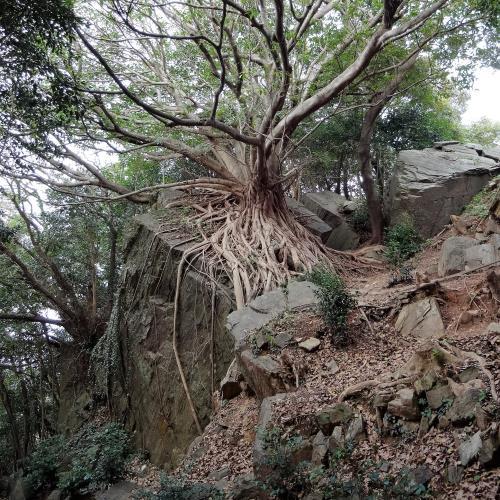 長崎変成岩類を包むアコウの木