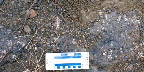 せんがんざん貝化石密集層
