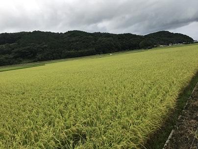 育った稲 2