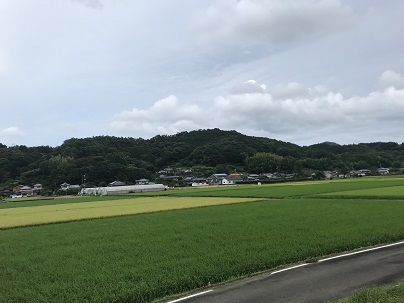育った稲 3