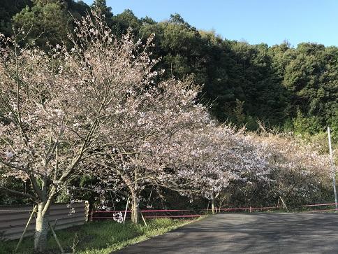 有明中の坂の咲き始め