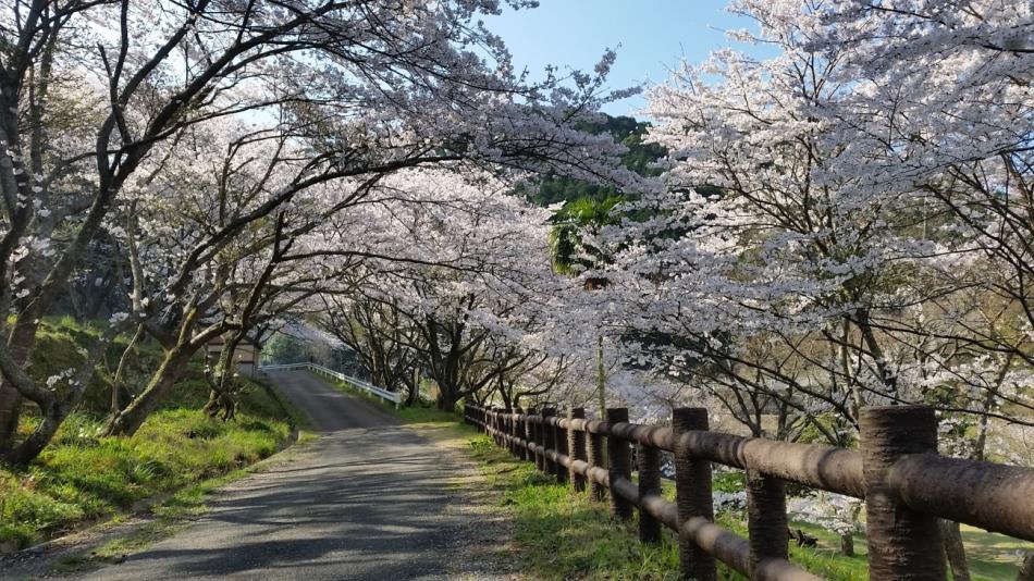 29年度道目木湖畔 桜