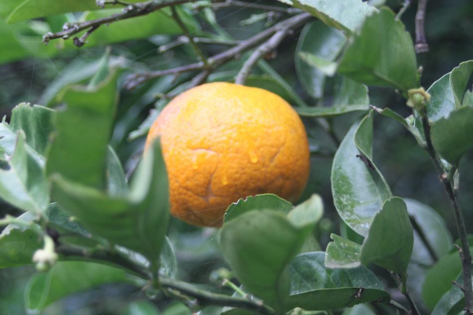 畑の果物4
