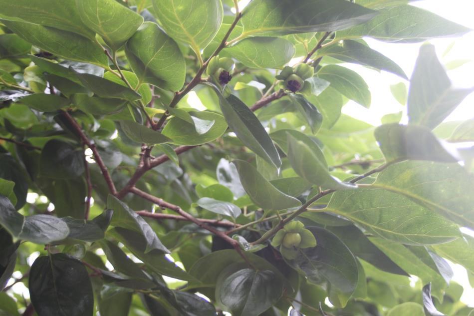 畑の果物3