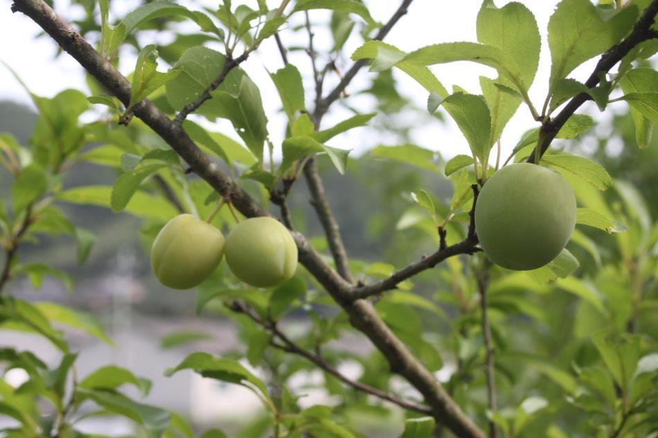 畑の果物1