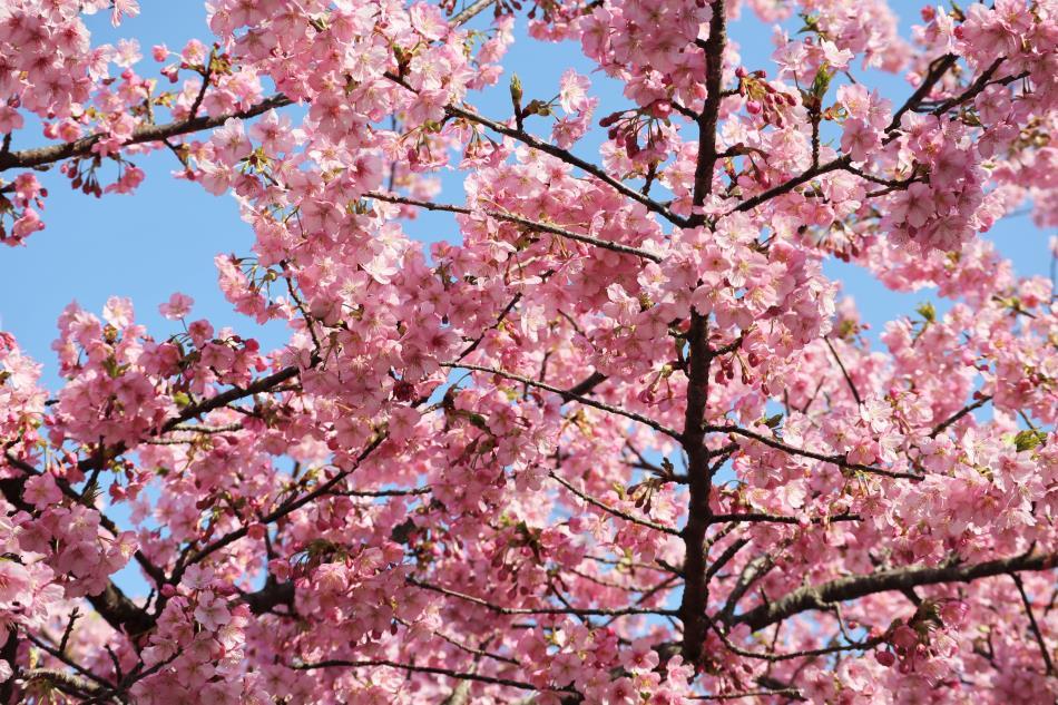 H31河津桜